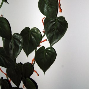 Unknown Philodendron