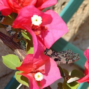 melleri flowers