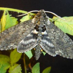 hornworm moth (halk moth)