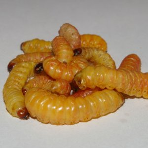 butter worms