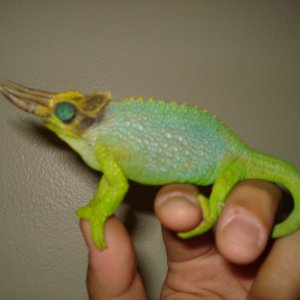 Breeder male adult meru
