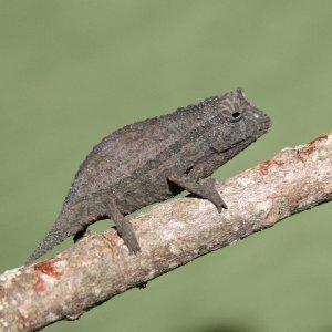 Rieppeleon Brevicaudatus - Young Male
