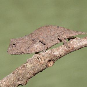 Rieppeleon Brevicaudatus - Young Female