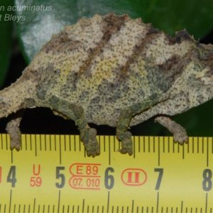 Rhampholeon Acuminatus 3small