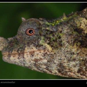 Rhampholeon (rhinodigitum) Acuminatus