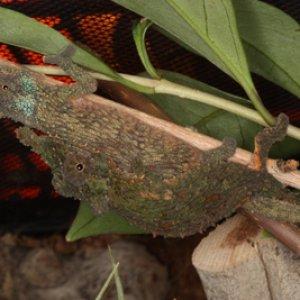 Rhampholeon spinosus