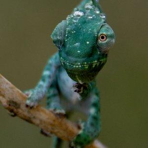 Giant Usambara Three-horn Chameleon