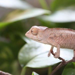 Pardalis Ambilobe Female