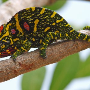 Furcifer Minor, Female