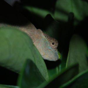 Female Kinyongia Tenuis