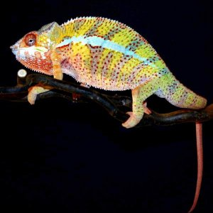Slash - Sirama Pantherchameleon