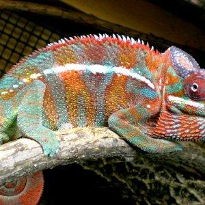Chameleon Pics 13166