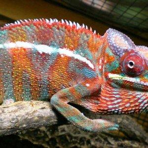 Chameleon Pics 13167
