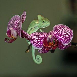 Vieled Chameleon