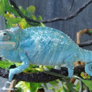 Nosy Be Panther Chameleon