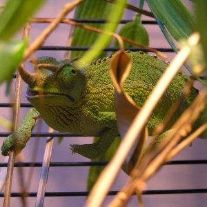 My Chameleons