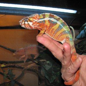 New Breeder Male