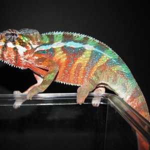 New Breeder Male Posing