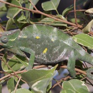 Male T.deremensis