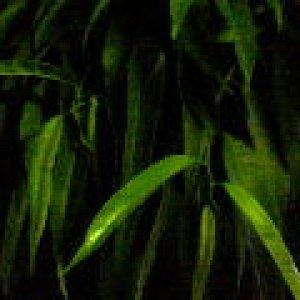 Ficus Alli Standard