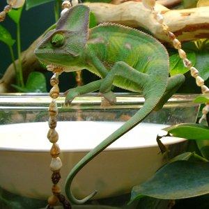 Chameleon Queastion Mark