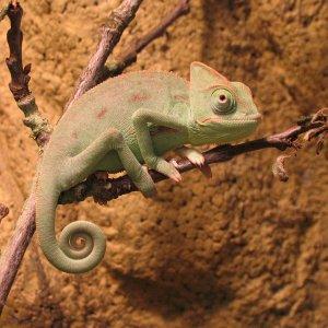 My Baby Vieled Chameleon
