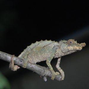 R. Acuminatus