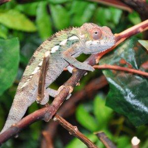 Chameleon Paparazzi