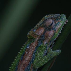Cape Dward Chameleon