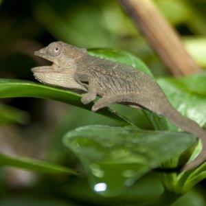 Bradypodion Setaroi Female