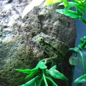 Male Pygmy