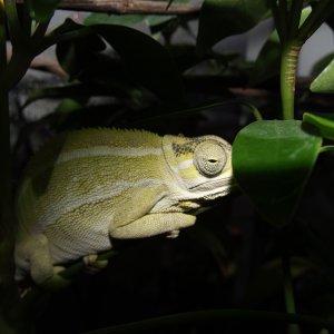 Nyika Whistling Chameleon