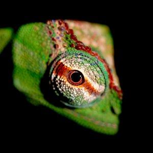 Eye Of A Trioceros Wiedersheimi Peretti
