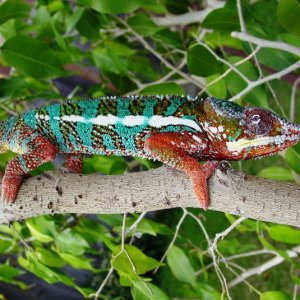 Panther Chameleon In Fiscus Tree