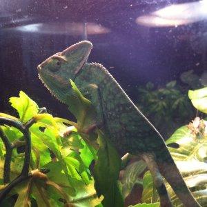 Veiled Chameleon///cali 2.0