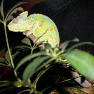 Female Veiled Chameleon Sleeping