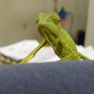 Graceful Chameleon 2