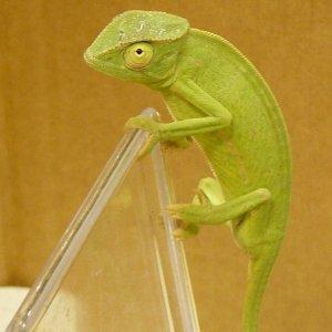 Graceful Chameleon 1