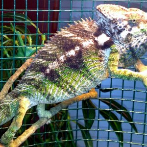 Giant Spiny Chameleon