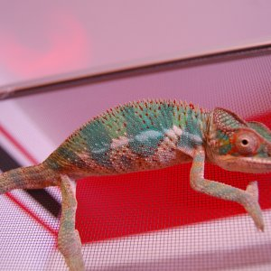 Otto Panther Chameleon