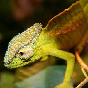 Male Peretti Aka Peacock Chameleon
