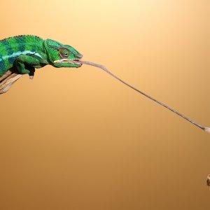 Cham Snatches Mantis