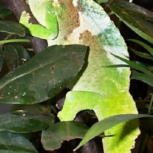 Adult Male Quadricornis