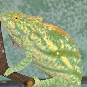 Lemon Lime Calumma Parsonii Female