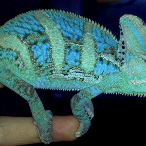Chameleontb83's Veiled Cham Pallo 1