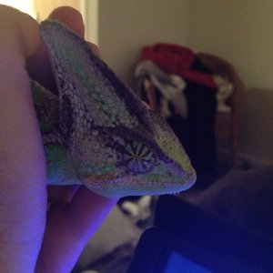 Sleepy Chameleon