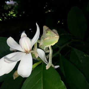 Omar In Magnolia Tree