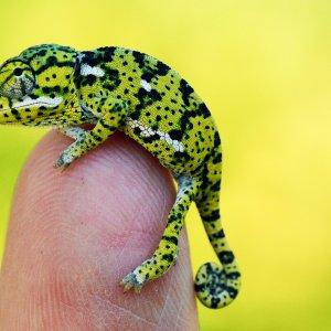Baby Flapneck Chameleon
