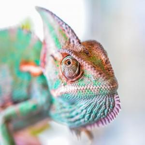 New Family Member, My Yemen Chameleon