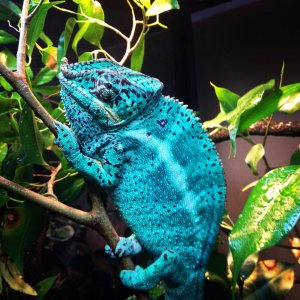 Nosey Faly Breeder At Chameleons Galore